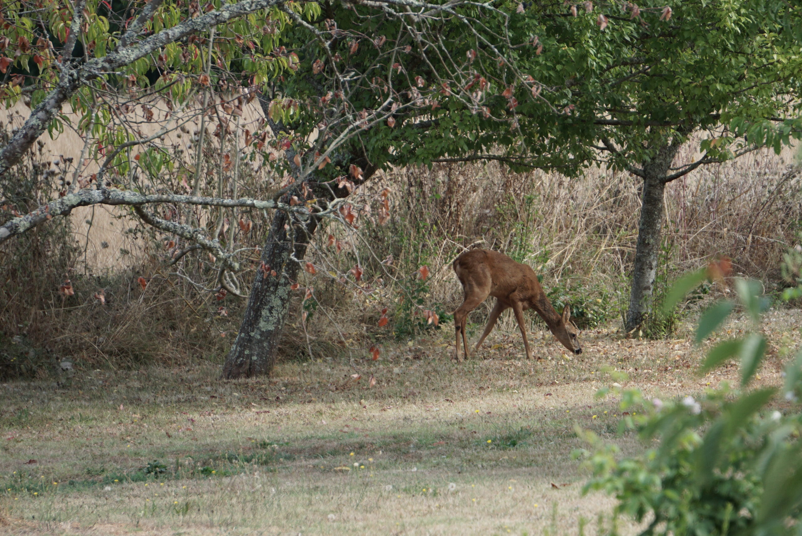 A deer in the orchard of Le Mas, a holiday home in the Dordogne, France