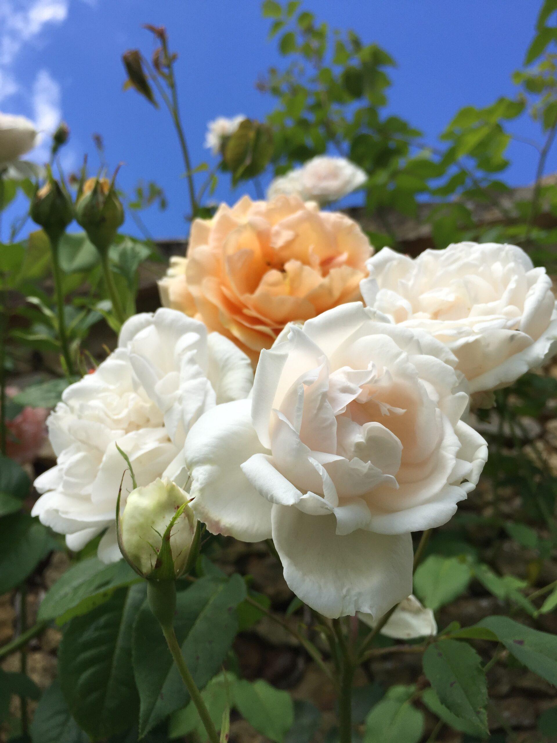 Geurende rozen in de tuinen van Le Mas & Le Mazet, vakantieverblijf in de Dordogne