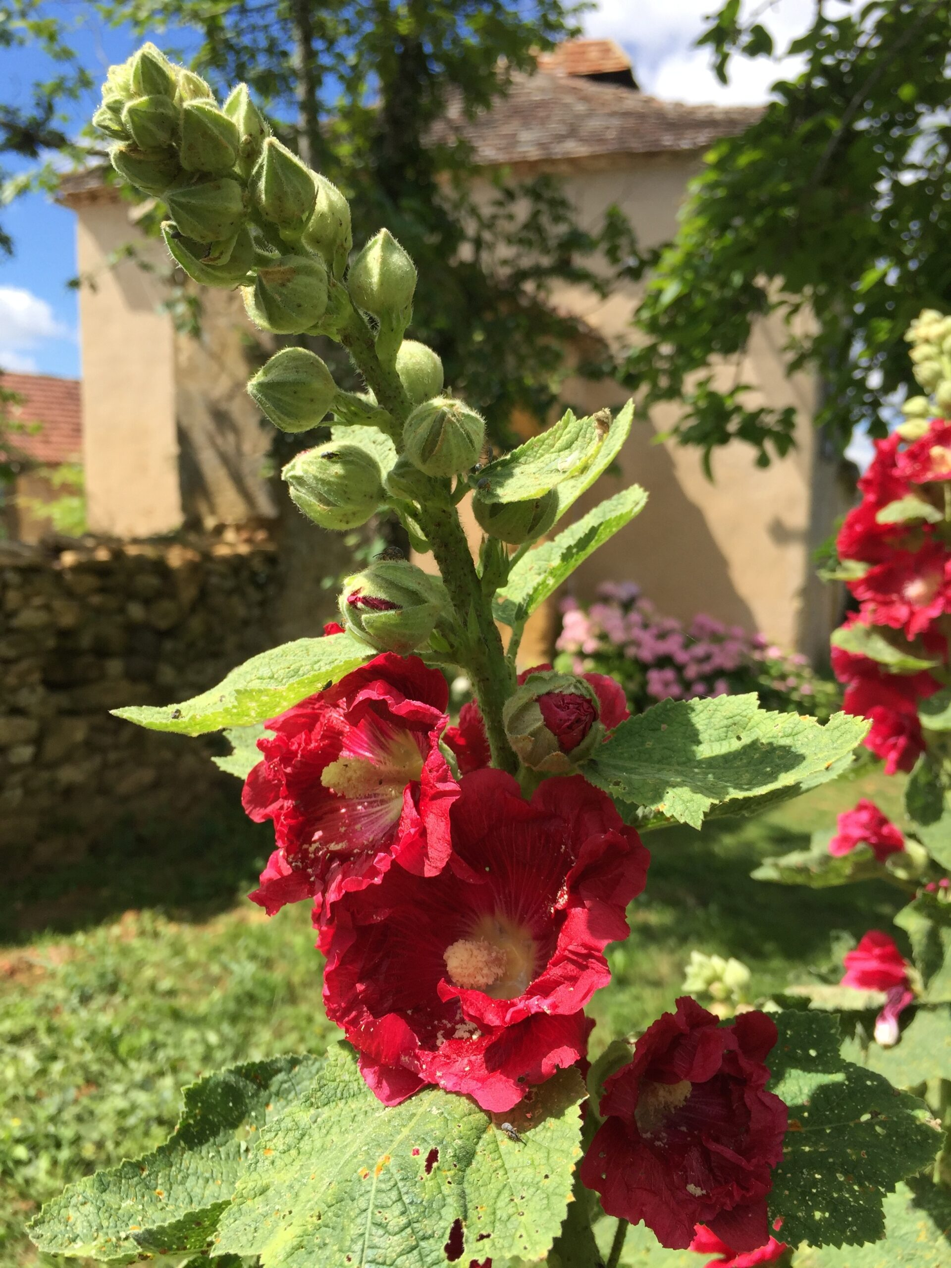 Wild hollyhocks growing in the garden of Le Mas & Le Mazet, holiday homes in the Dordogne