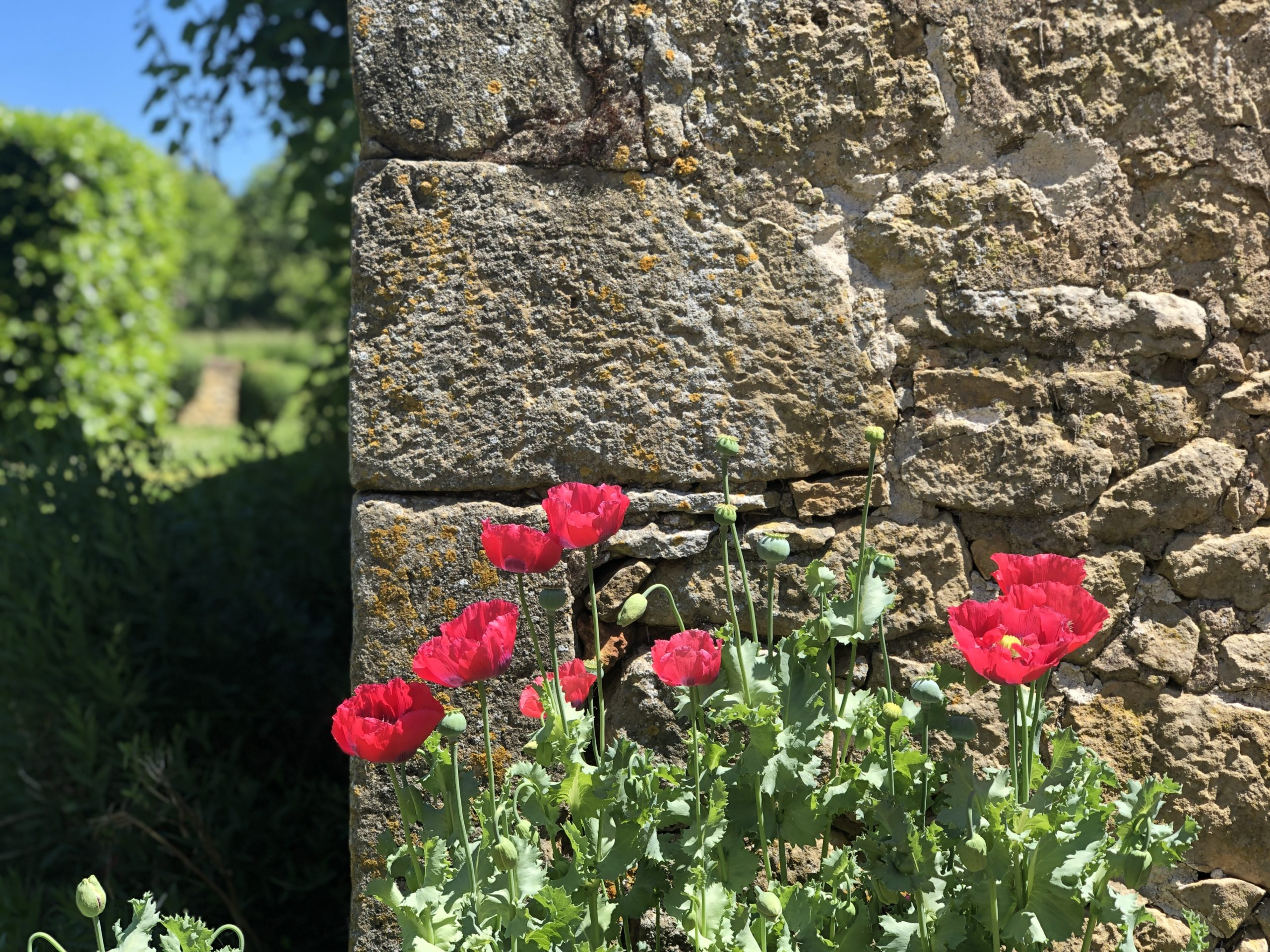 Wild poppies in front of stone wall in the beautiful garden of Le Mas in the Dordogne