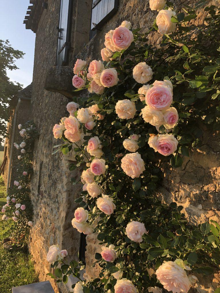 Roses Pierre de Ronsard sur Le Mazet, un gîte rural en Dordogne